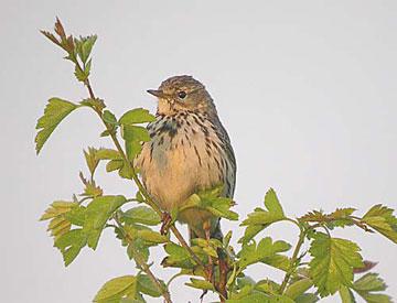 Мелкие певчие птицы вроде этого