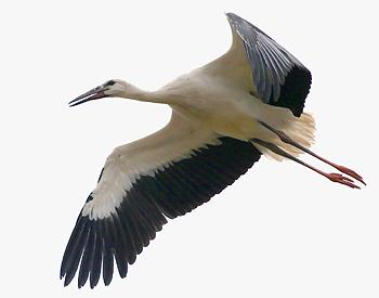 Летящий голубь картинка 2
